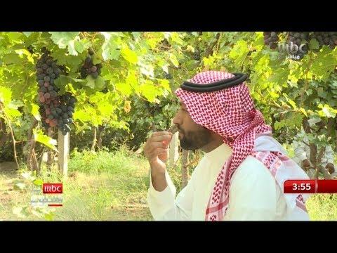 """""""العنب الأسود"""" الأشهر في مزارع نجران زرع لأول مرة قبل عشرات السنين ويحتاج إلى عناية خاصة"""
