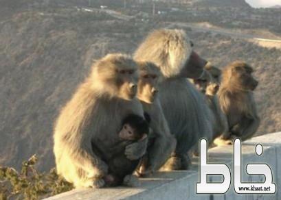 القرود تهاجم أحد الطلاب شرق المجاردة والأهالي يناشدون المسؤولين بإيجاد حلول